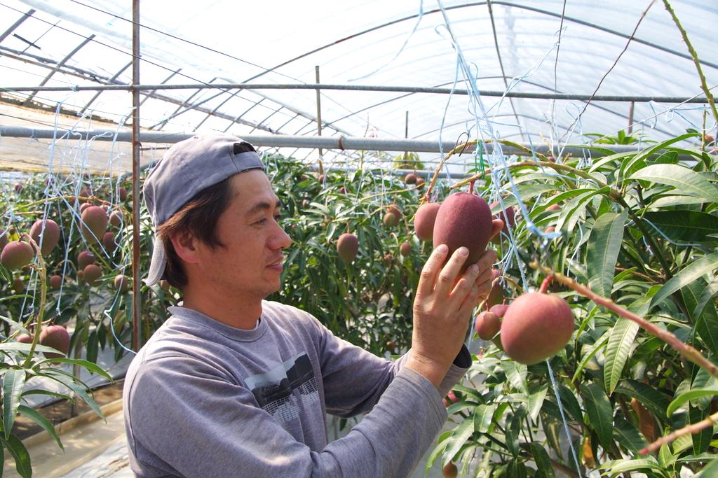 マンゴーの栽培を初めて16年以上になります