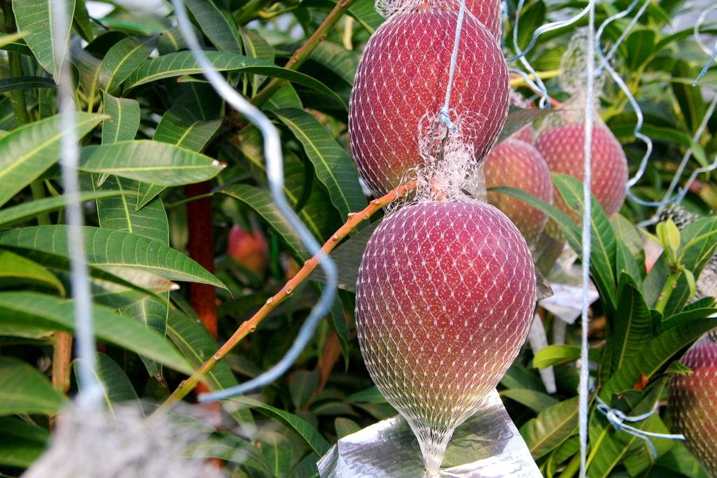 樹上完熟させているマンゴー