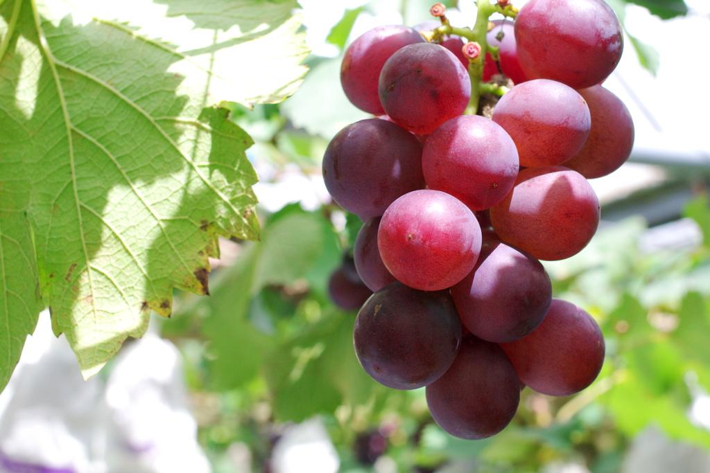 クラシックを聞かせたブドウの美味しさは格別です