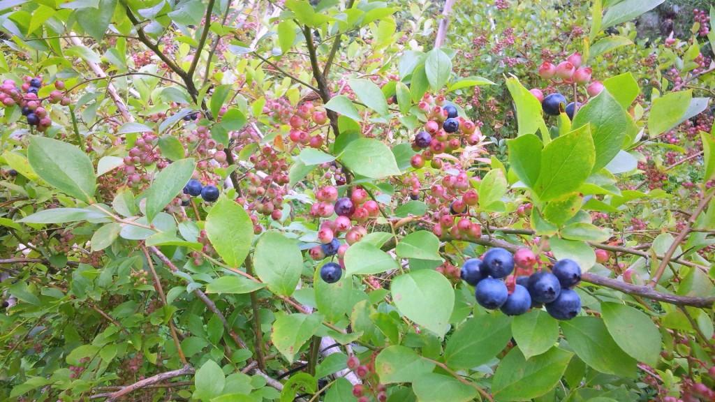 当園のブルーベリーは無農薬栽培です